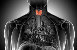 Hashimoto Therapie - Lage der Schilddrüse im Körper