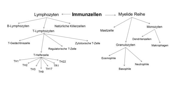 Immunsystem Immunzellen