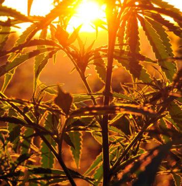 Cannabinoide: Neue Erkenntnisse zur Schmerztherapie bei MS, Rheuma & Fibromyalgie