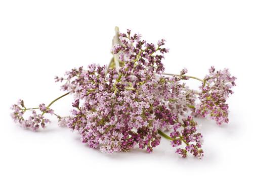 Kräuter, Baldrian, Heilkräuter, Pflanze, gesund, Tee,