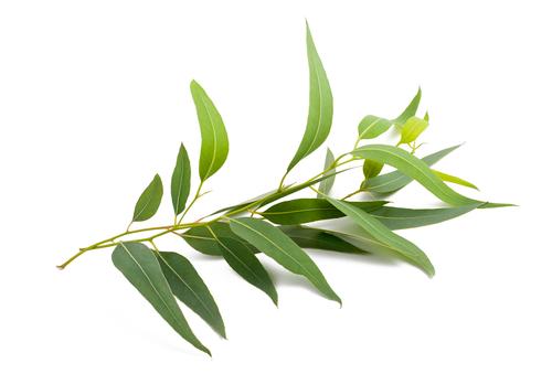Kräuter, Eukalyptus, Heilkräuter, Pflanze
