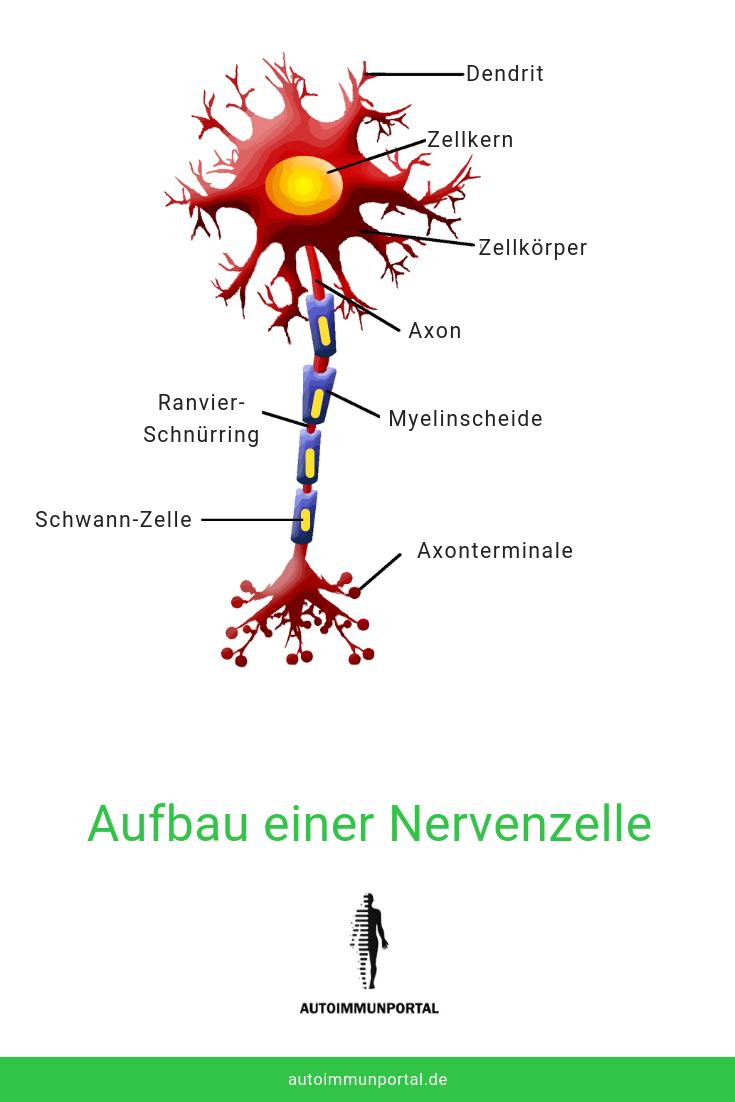 Schematischer Aufbau einer Nervenzelle. Die Weiterleitung der Nervensignale erfolgt über die Axone, Myelinscheiden isolieren und schützen die Axone stets.