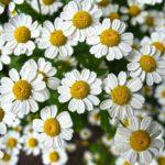 Hausmittel und 12 Kräuter gegen Schuppenflechte, Natur, Kamille, Naturheilkunde, Volksmedizin