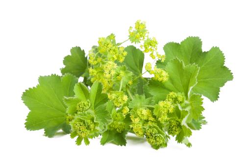 Kräuter-Frauenmantel-Heilkräuter-Pflanze
