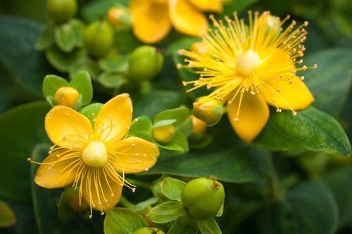 Kräuter-Johanniskraut-Heilkräuter-Pflanze