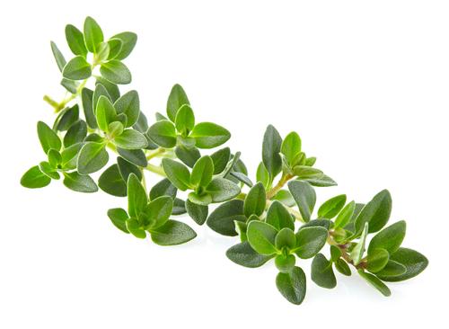 Kräuter-Thymian-Heilkräuter-Pflanze