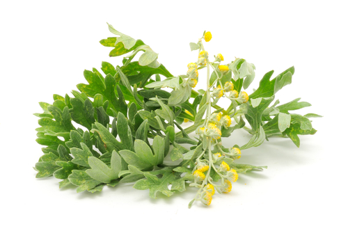 Kräuter-wermut-Heilkräuter-Pflanze