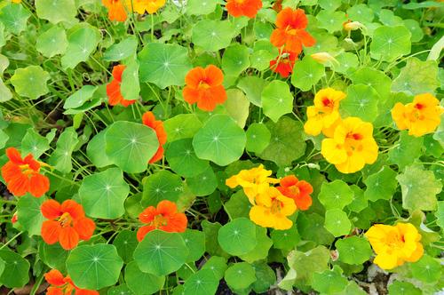Kräuter-Kapuzinerkresse-Heilkräuter-Pflanze