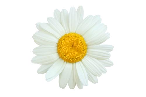 Kräuter-Gänseblümchen-Heilkräuter-Pflanze