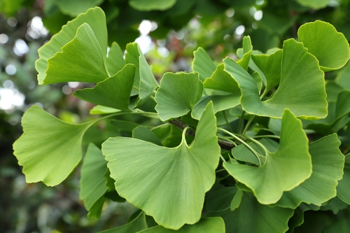 Kräuter-Ginkgo-Heilkräuter-Pflanze