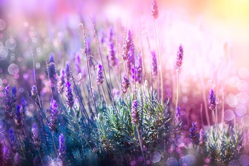 Kräuter-Lavendel-Heilkräuter-Pflanze
