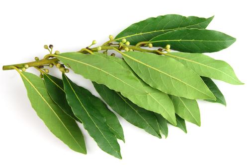 Kräuter-Lorbeer-Heilkräuter-Pflanze