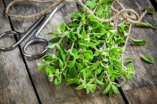 Kräuter-Majoran-Heilkräuter-Pflanze