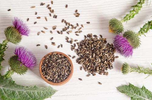 Kräuter-Mariendistel-Heilkräuter-Pflanze