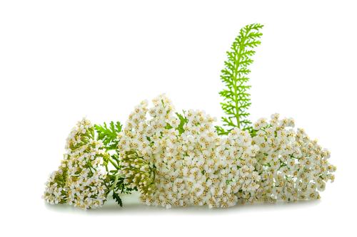 Kräuter-Schafgarbe-Heilkräuter-Pflanze